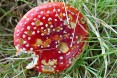 Fly Agaric by Mike Humphries