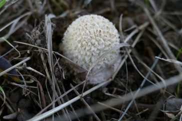 The white spots on the Amanita's cap are the remains of a veil....