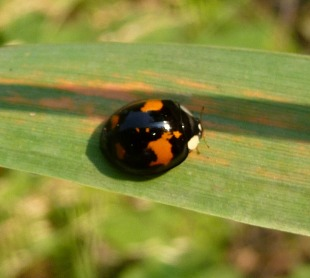 Two spot ladybird by Gail Hampshire (CC2.0)