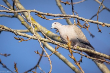 collar dove by DKG