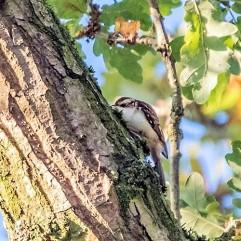 Tree creeper DKG_2718