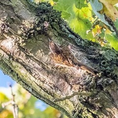 Tree creeper DKG_2725