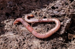 Earth worm CC0