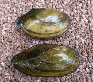Swan mussel adults