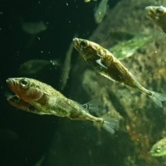 Three-spined stickleback CC0