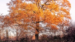 autumn tree DKG