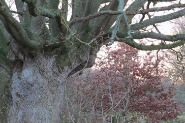 oak tree 5552 (SMH)