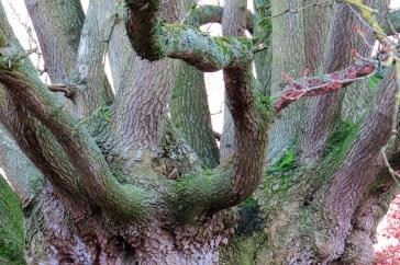 Oak tree 5552