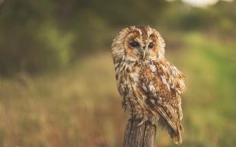 Tawny owl by Keith Morgan CC2.0