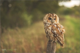 Tawny owl by Keith Morgan CC2.0