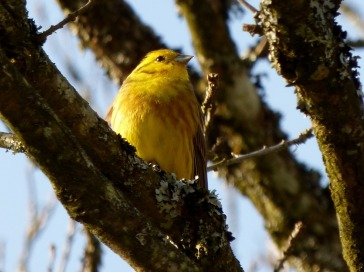 Yellow Hammers & Skylarks were common
