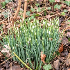 Snowdrops by DKG
