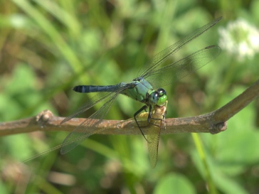 dragonfly eating a mayfly