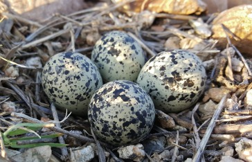 Four big pear-shaped eggs laid on a few bits of straw