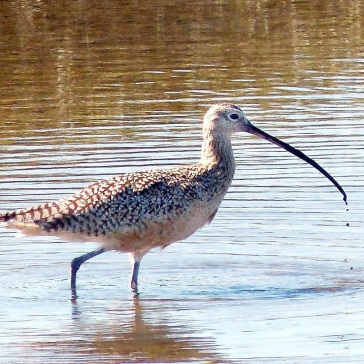 a curlew used to roost in a local swampy pond