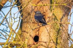 Our resident Jackdaw. . .