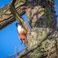 Great spotted woodpecker. . . only showing off his rear end