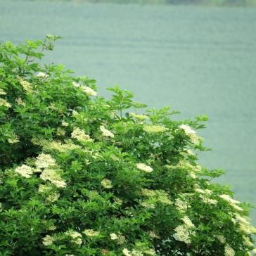 elder in flower